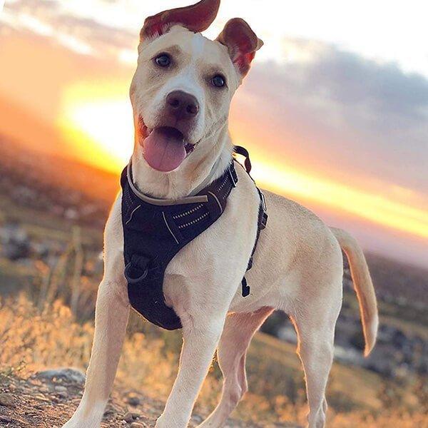 rabbitgoo no-pull dog harness - best dog harness